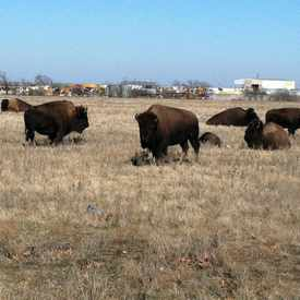Photo of Buffalo field in Far North