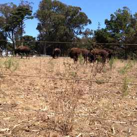 Photo of Bison Paddock in Golden Gate Park