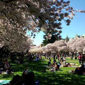 Photo of UW Cherry Blossom in University District